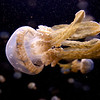 Spotted Jellyfish 1097