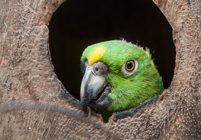 Green Parrot Peephole 24 x 36