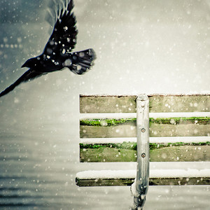 Crow Fly 30 x 30