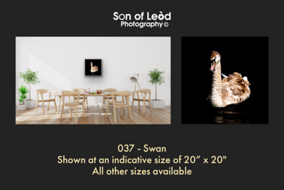 037 Swan