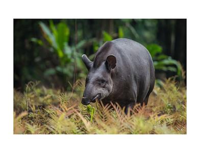 A lowland tapir at yasuni