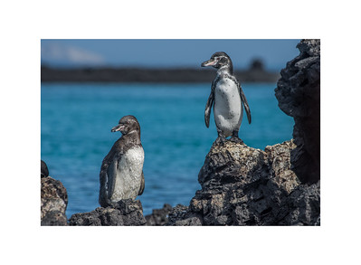Galapagos penguins heating up on the rocks.
