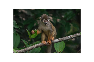 Squirrel monkey with katydid prey