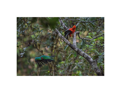 Andean cock of the rock chasing a quetzal away from its perch.