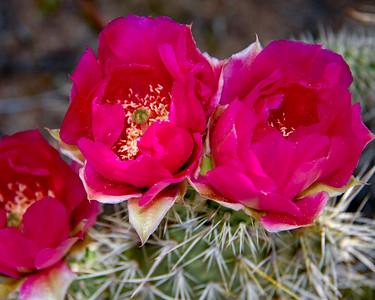 Cactus flowers_2637