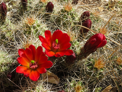Nice blooming claret cup cactus.