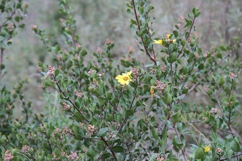 California Bush Sunflower, Encelia californica with Lemonadeberry, Rhus integrifolia