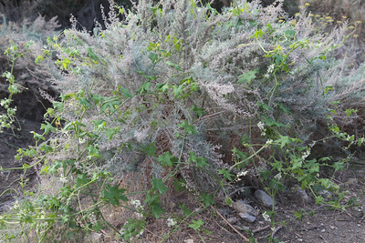 California Sagebrush, Artemisia californica with Wild Cucumber, Marah macrocarpus