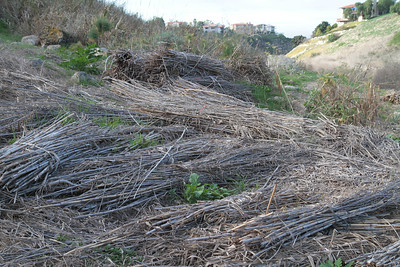 Piles of Fennel that have been cut down.