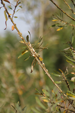 Arroyo Willow, Salix lasiolepis with catkins (flowers)