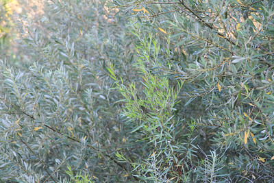 Mulefat, Baccharis salicifolia, engulfed by the Willows.