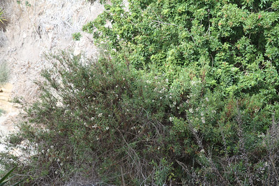 There are more Mulefat bushes down in the canyon that we could not see before.