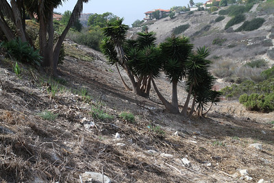 Removing the vegetation has uncovered lots of trash at this spot including a bed frame under the Yucca.