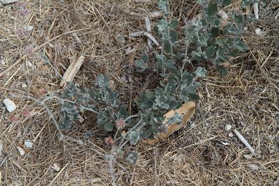 Ashyleaf Buckwheat, Eriogonum cinereum. Also a new plant in the restored area.