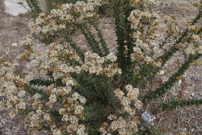 Coastal Goldenbush, Isocoma menziesii. One of the new plants in the restored area.