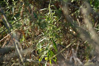 Mulefat, Baccharis salicifolia??