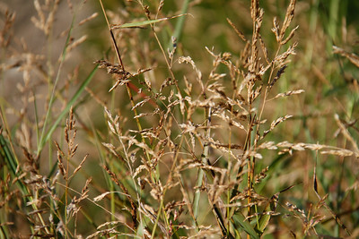Johnson Grass, Sorghum halepense, not native