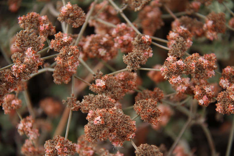 Ashyleaf Buckwheat, Eriogonum cinereum