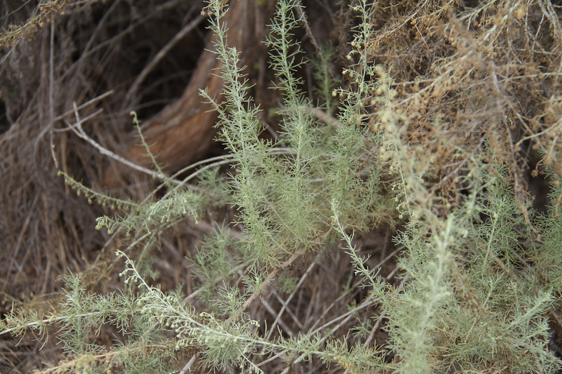 California Sagebrush, Artemisia californica. There was some artemisia with new growth.