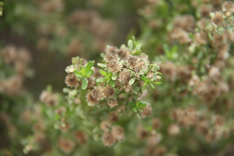 Coyote Bush, Baccharis pilularis, male flowers drying up.