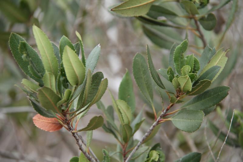 Toyon, Heteromeles arbutifolia