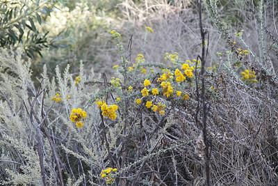 Coast Goldenbush, Isocoma menziesii