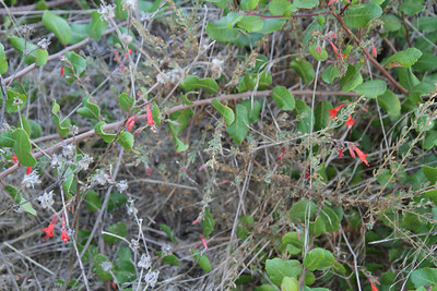 California Fuchsia, Epilobium canum growing in the Lemonadeberry, Rhus integrifolia