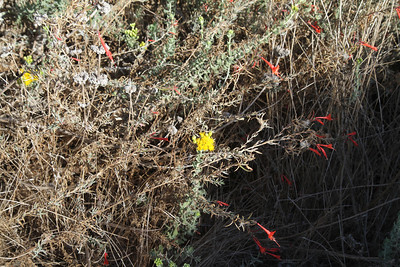 Coastal Goldenbush, Isocoma menziesii and California Fuchsia, Epilobium canum