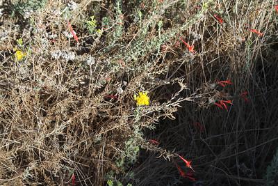 Coastal Goldenbush, Isocoma menziesii and California Fuchsia, Epilobium canum