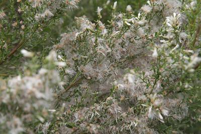 Coyote Bush, Baccharis pilularis (female plant)