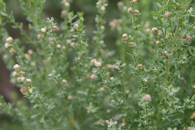 Coyote Bush, Baccharis pilularis (male plant)