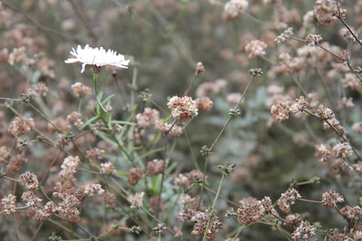 Ashyleaf Buckwheat and Cliff Aster, Malacothrix saxatilis