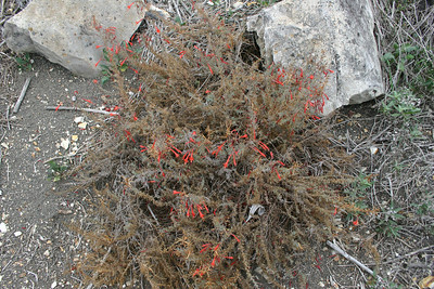 California Fuchsia, Epilobum canum