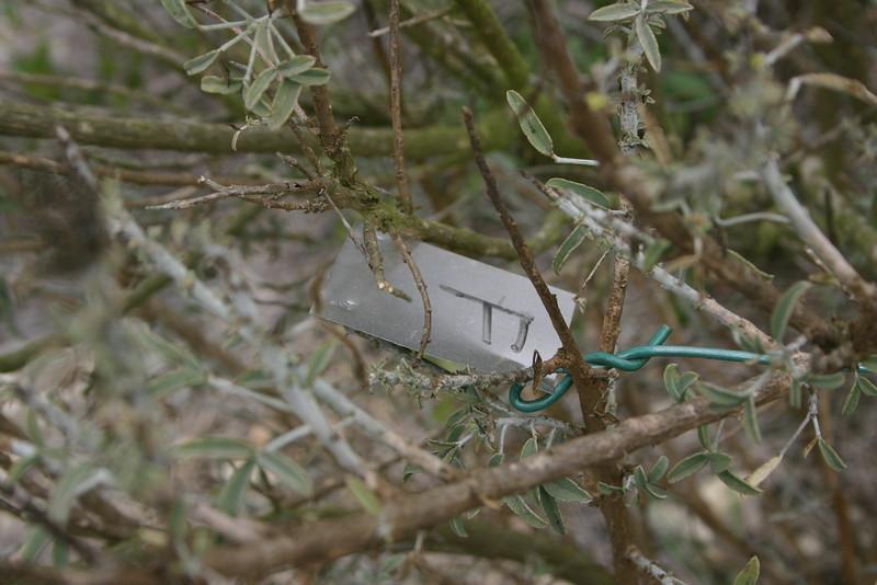 Bladderpod, Isomeris arborea tag