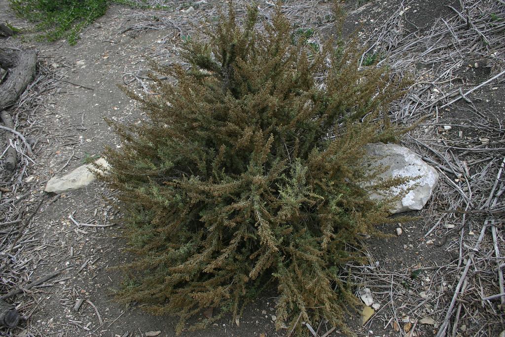 California Sagebrush, Artemisia californica