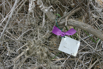 Tag on a dead Bush Lupine.