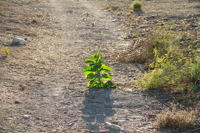 Tree Tobacco, Nicotiana glaucus, not native, getting started in the middle of the middle path.