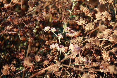 Ashyleaf Buckwheat, Eriogonum cinereum. And this is the redish-flowered plant behind the cherry tree.