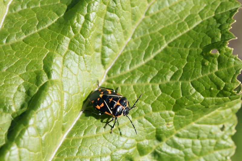 Harlequin Bug adult