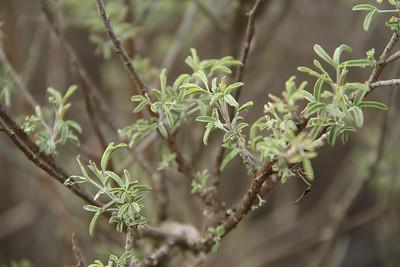 Badderpod, Isomeris arborea