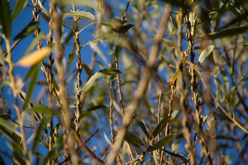 Arroyo Willow, Salix laseiolepis