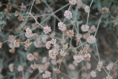 Asyleaf Buckwheat, Eriogonum cinereum
