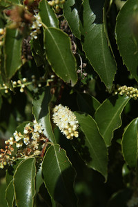 Catalina Holly-leafed Cherry, Prunus ilicifolia ssp. lyonii