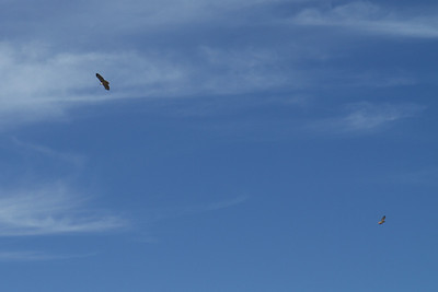 Red-tailed Hawk (2)