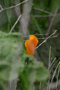 California Poppy, Eschscholzia californica