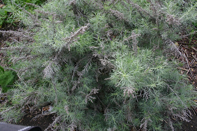 California Sagebrush, Artimesia californica