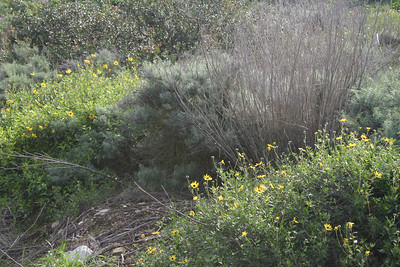 Bush Sunflower, Encelia californica
