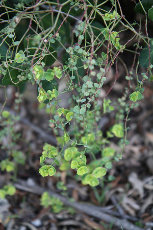 Spurge, Euphorbia terracina, not native