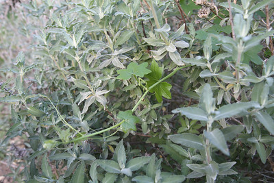 Purple Sage, Salvia leucophylla, and Wild Cucumber, Marah macrocarpus