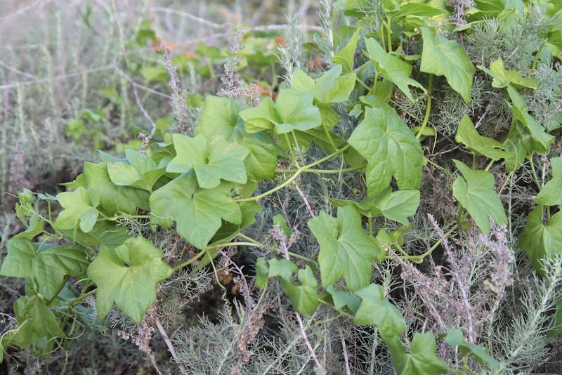 California Sagebrush, Artemisia californica with Wild Cucumber, Marah macrocarpus
